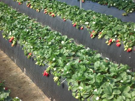 El sector fresero culmina la campaña con una producción de 288.660 toneladas