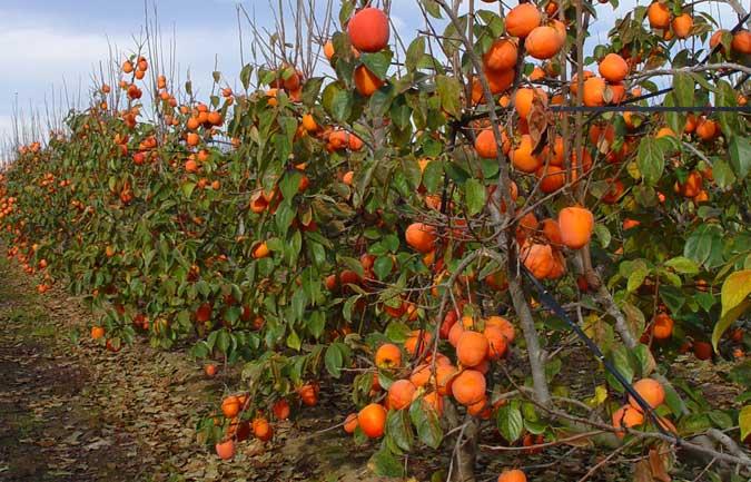Comienza la suscripción de seguro agrario para caqui y otros frutales