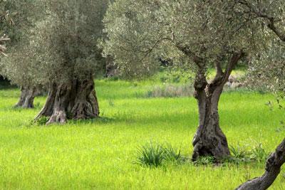 La Junta incentiva la expansión del olivar ecológico en Huelva con el pago de 1,45 millones de euros
